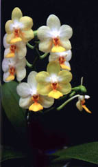 Phalaenopsis Kung's Lob Lawrence  by O.Gruss